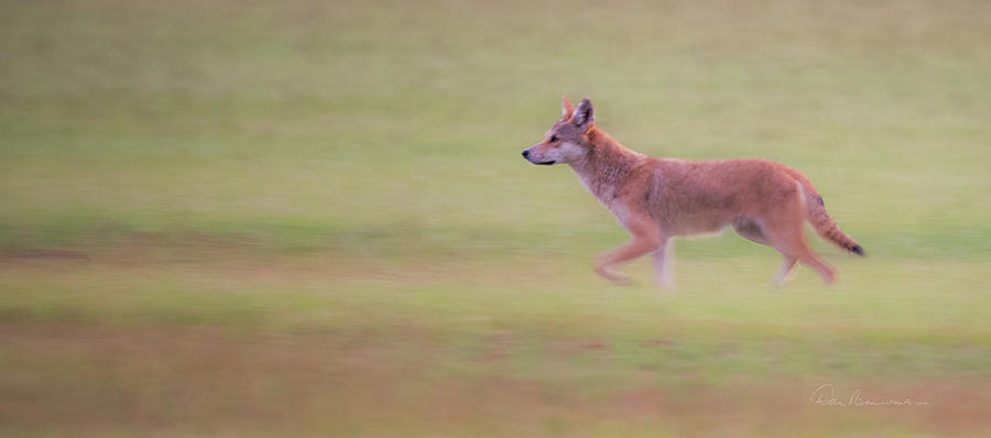 Coyote 0313 Photograph