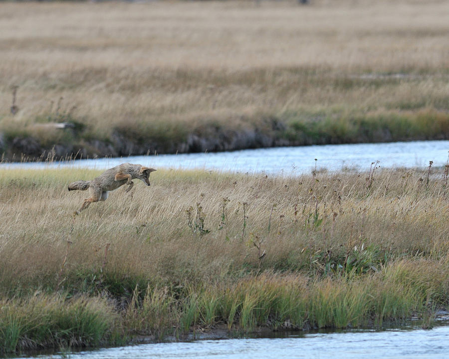 Horizontal Photograph - Coyote Hunting In Grass by Photo by James Keith