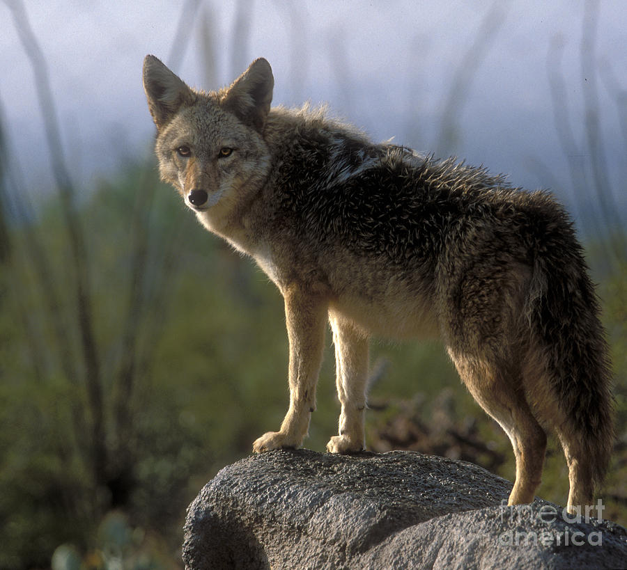 Coyote Photograph - Coyote In Ocotillo Trees by Sandra Bronstein