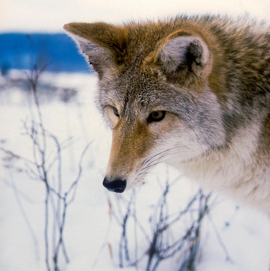 Wildlife Photograph - Coyote Listening  For Prey by Larry Allan