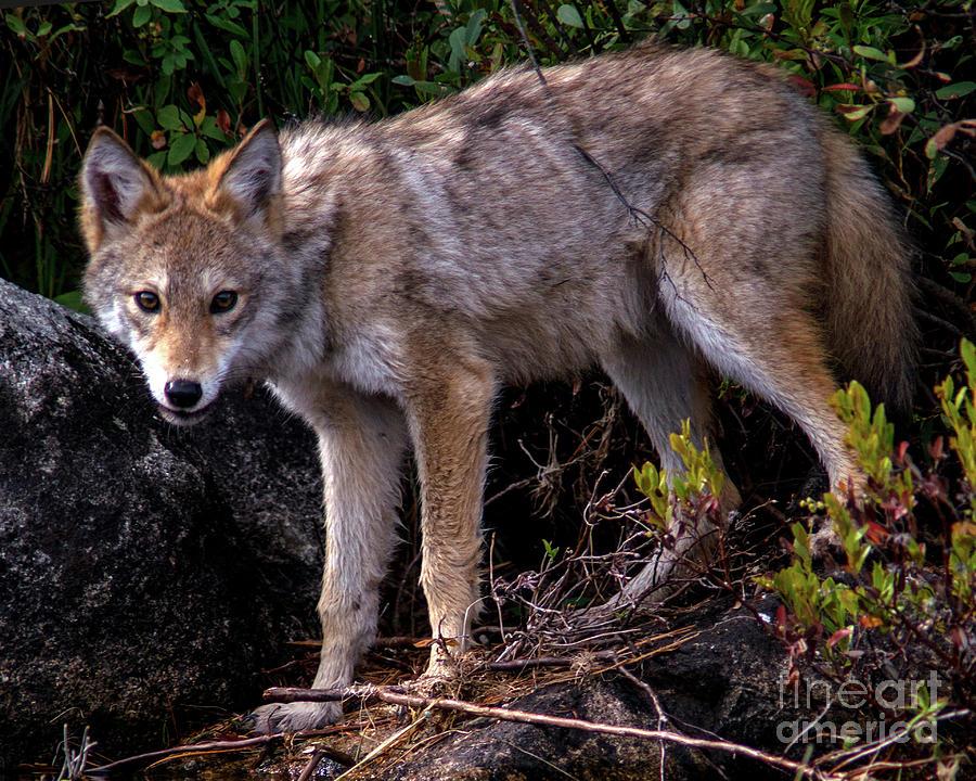 Coyote Portrait by Jane Axman