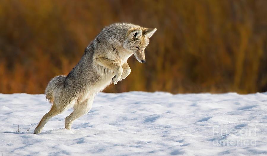 Coyote Pounce by Brad Schwarm