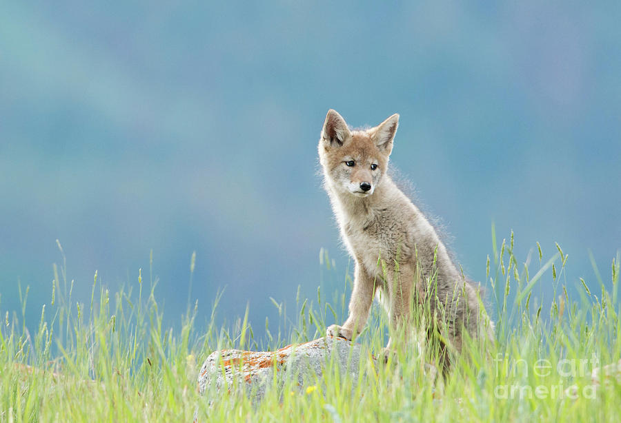 Coyote Pup 2017 by Shannon Carson