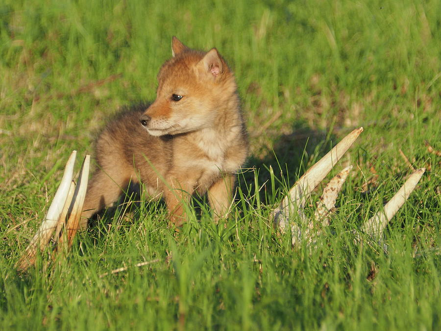 baby coyotes for sale - 900×675