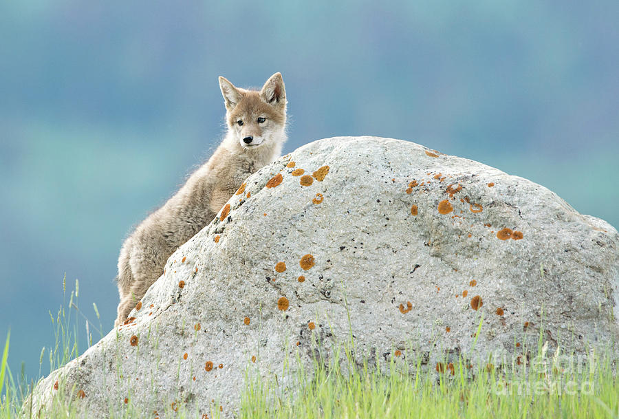 Coyote Pup by Shannon Carson