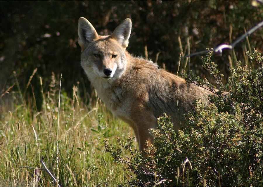 Wildlife Photograph - Coyote Resting by Perspective Imagery