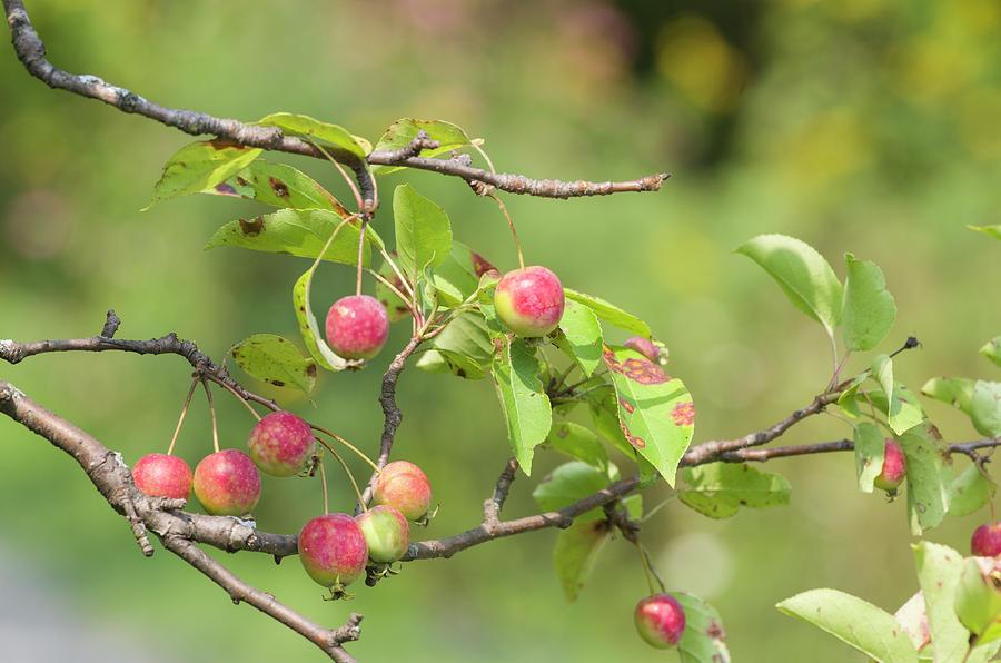 Blossoms Photograph - Crab Apple Fruit by Bob Corson