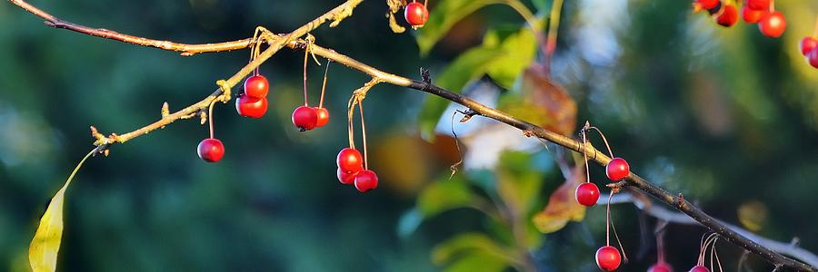 Crab Apples Branches P 6543 Photograph