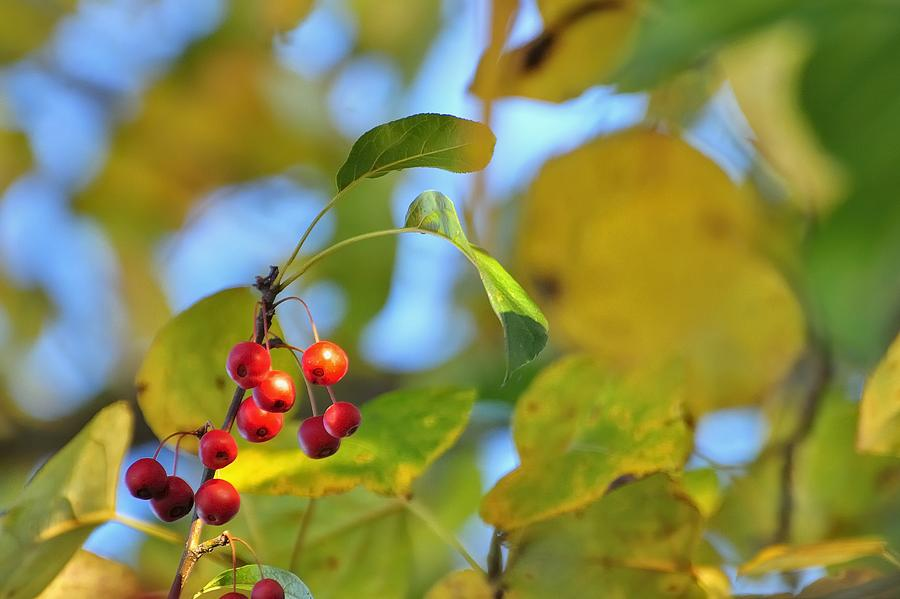 Crab Apples Leaves 6513 Photograph