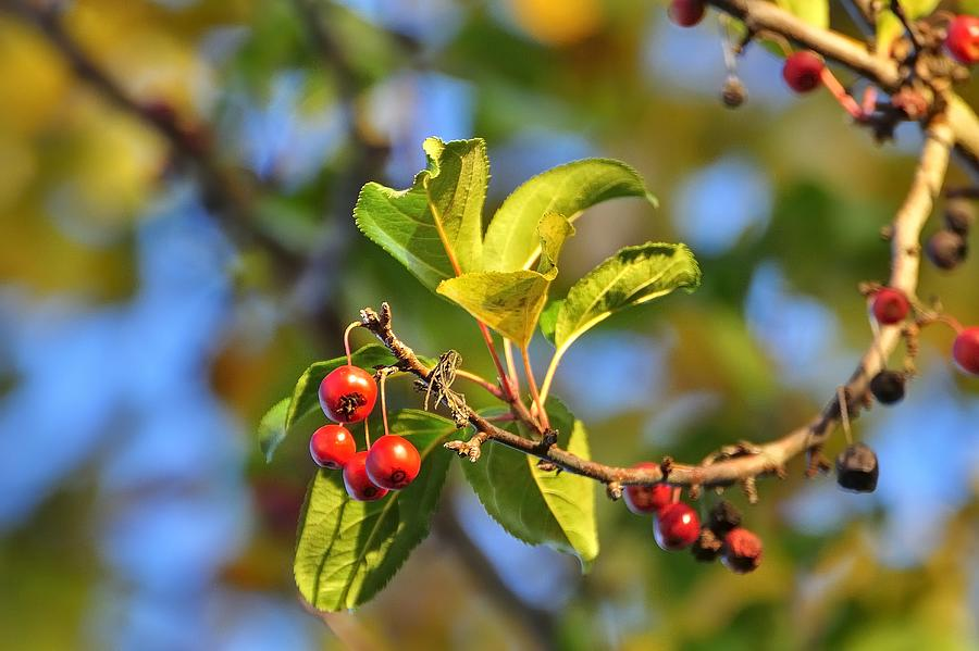 Crab Apples Leaves 6539 Photograph