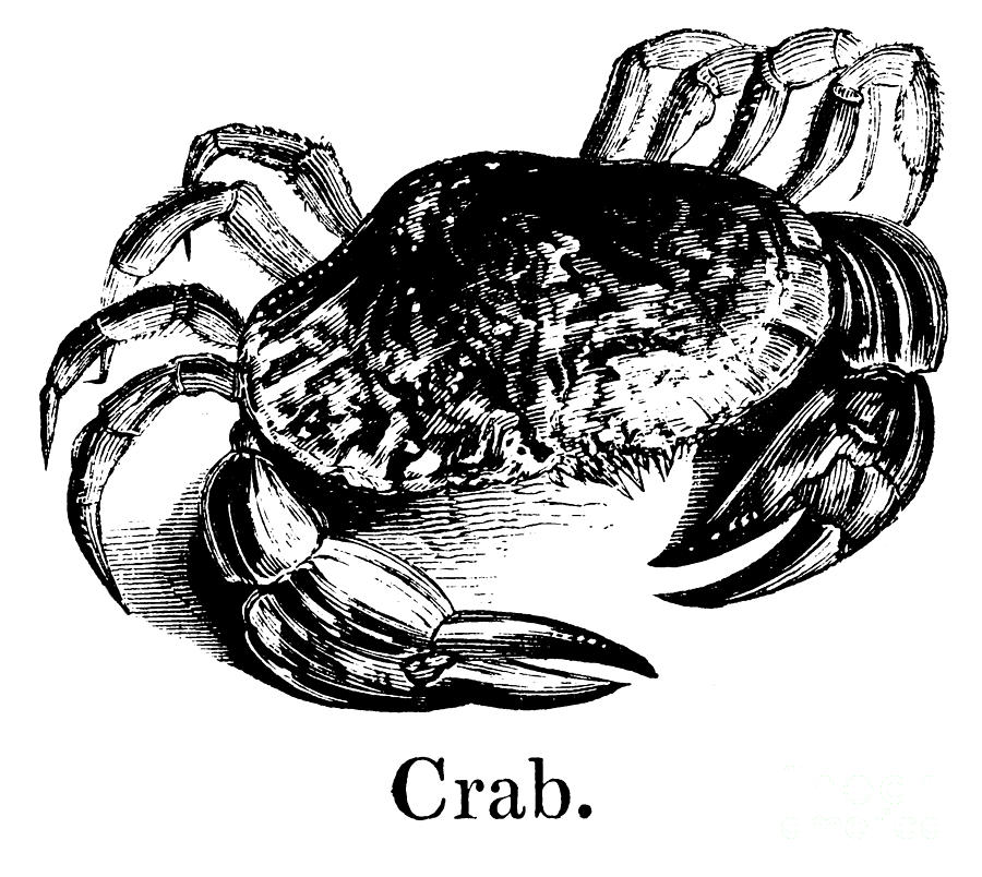 Crabs Drawing - Crab by English School