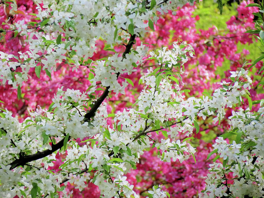 Crabapple Blossom Colors by MTBobbins Photography