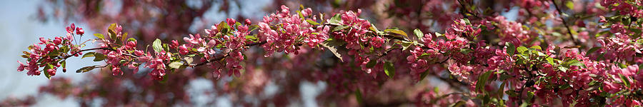 Crabapple Photograph - Crabapple in spring panoramic by Michael Bessler