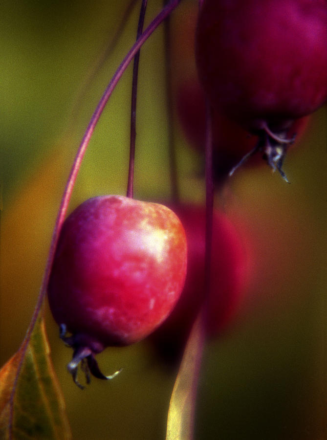 Macro Photograph - Crabapple by Lee Santa