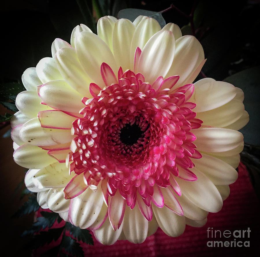 Gerber Daisy Photograph - Cranberry And White by Joseph Yarbrough