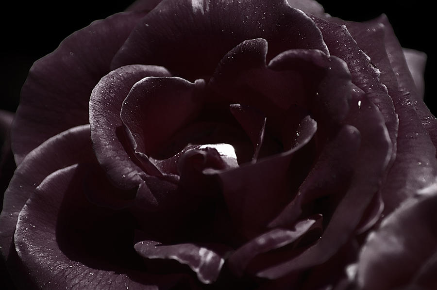 Clay Photograph - Cranberry Rose by Clayton Bruster