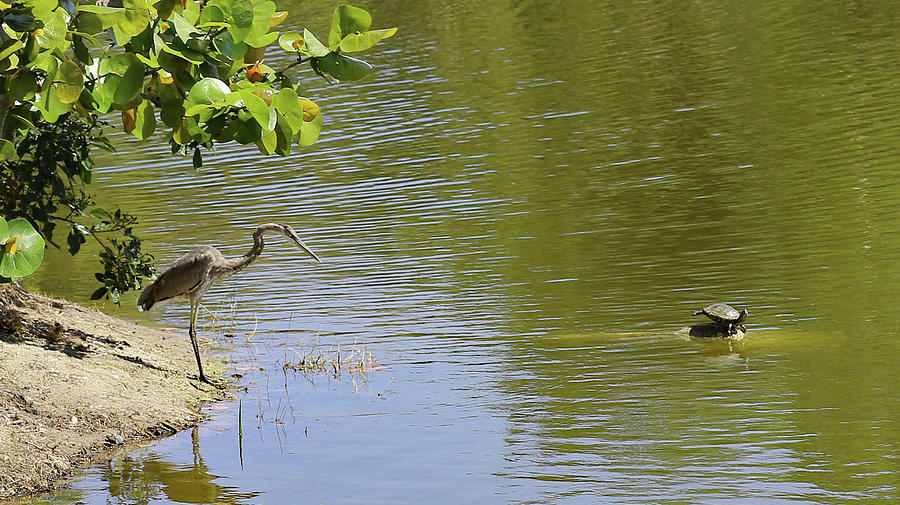 Crane Photograph - Crane Observing Balancing Turtle by Imagery-at- Work