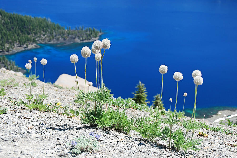 Crater Lake Puff Ball Flowers Photograph