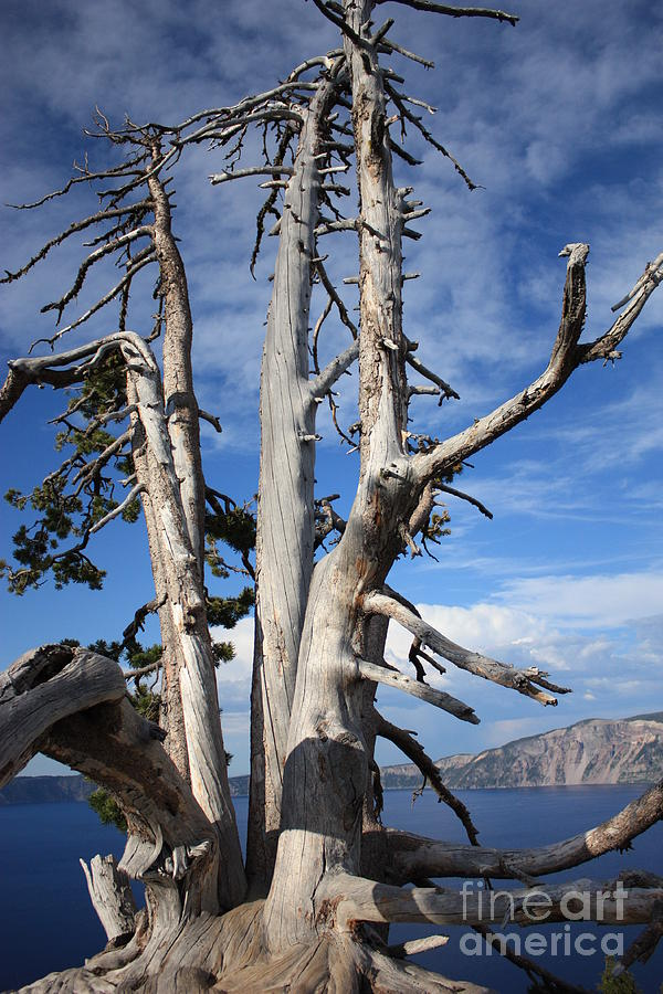 Tree Photograph - Crater Lake Tree by Carol Groenen