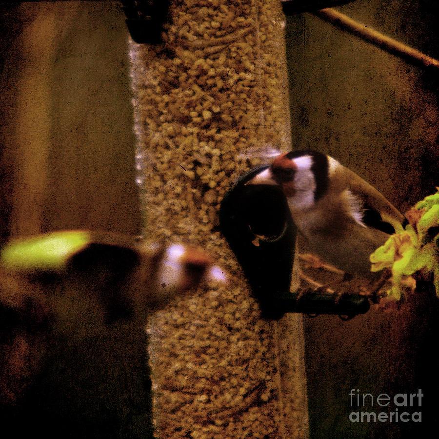 Feeder Photograph - Crazy Goldfinch by Angel Ciesniarska
