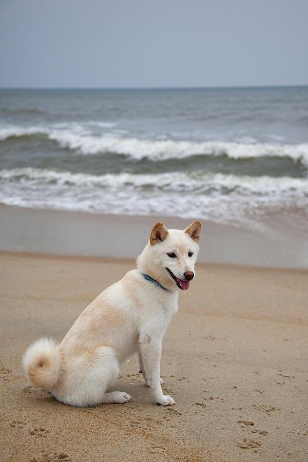 Large Shiba Inu Dog