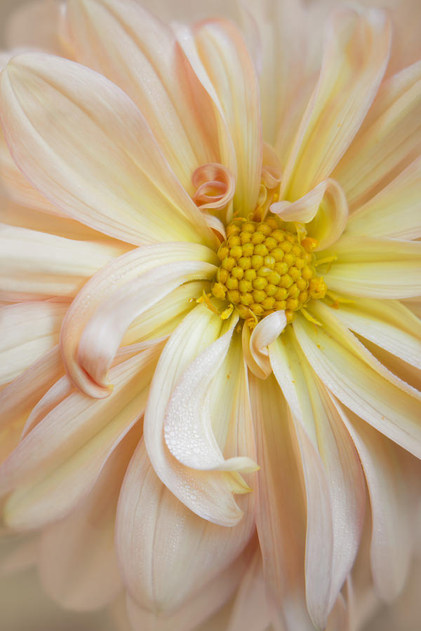 Colorful Photograph - Creamsicle Dahlia by Kathleen Clemons