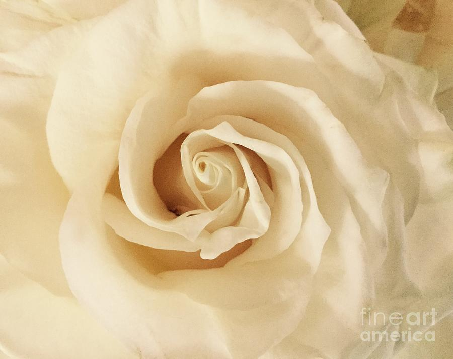 Creamy Rose by Mary K Conaboy