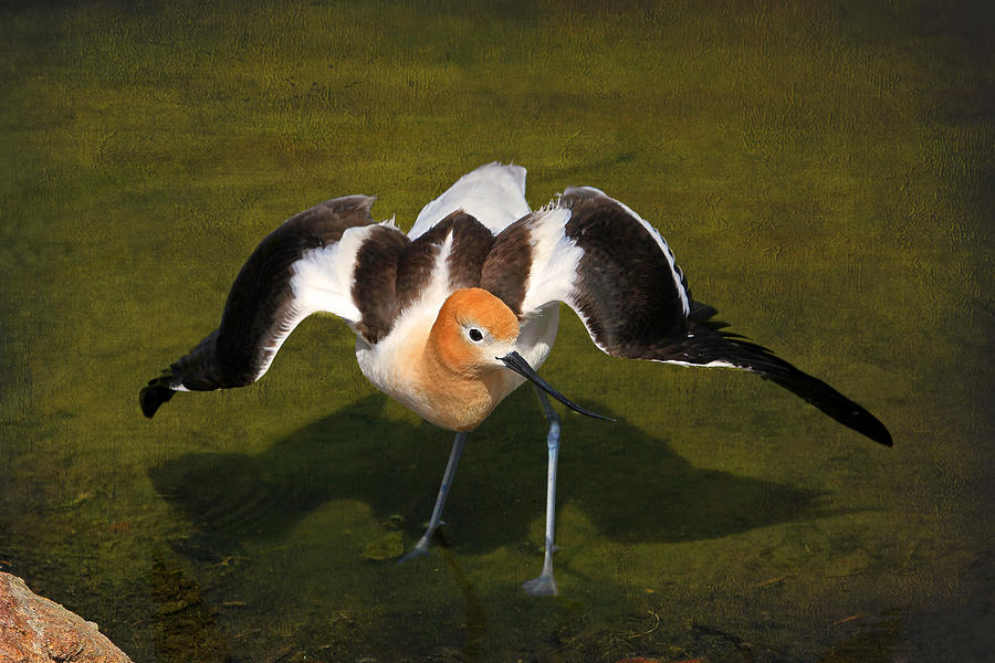 American Avocet Photograph - Creating A Diversion by Donna Kennedy