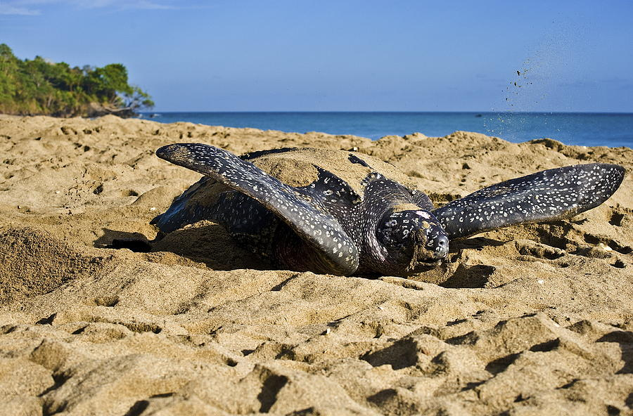 Leatherback Turtle Photograph - Creating Camouflage  by Sarita Rampersad