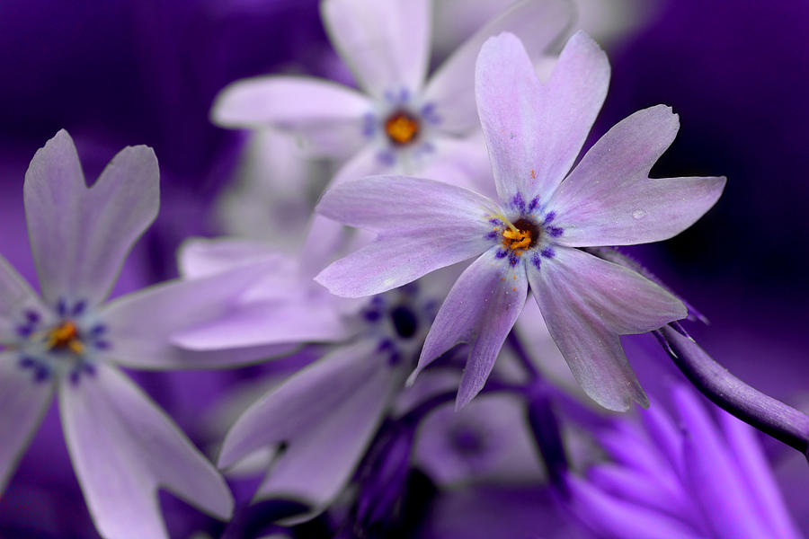 Creeping Phlox Photograph - Creeping Phlox by Mike Eingle