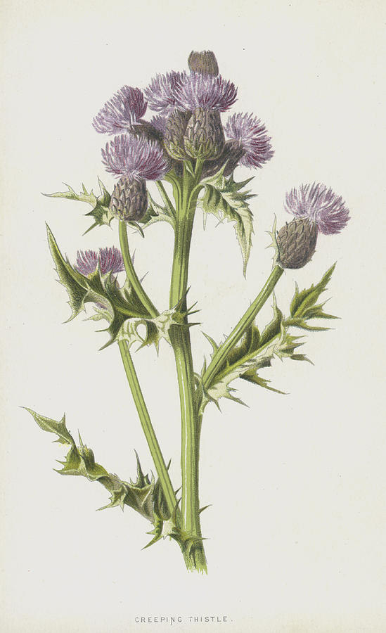 Creeping Thistle Painting By Frederick Edward Hulme