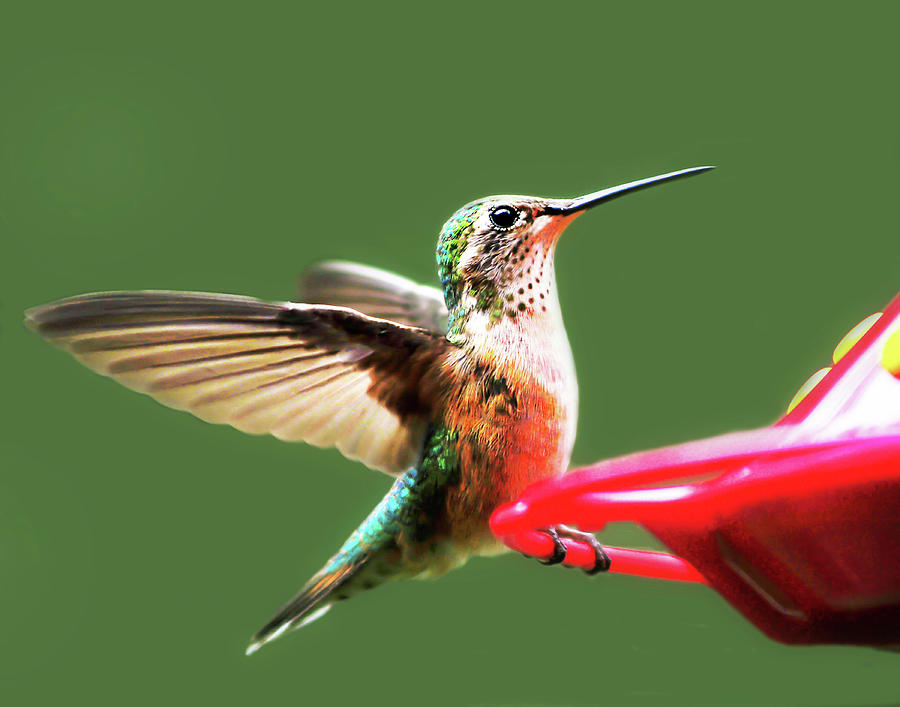 Crested Butte Hummingbird by Scott Cordell