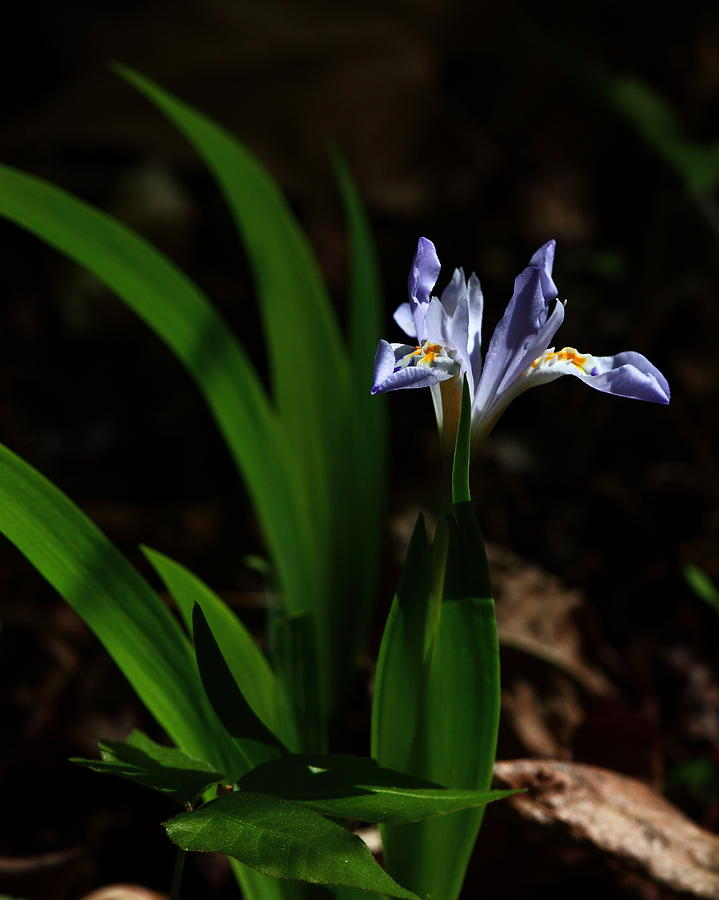 Crested Iris Photograph - Crested Iris In Lost Valley by Michael Dougherty
