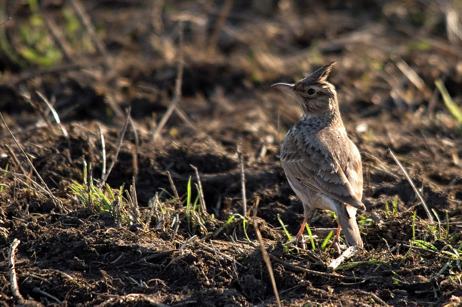 Crested Lark On Ploughed Field Photograph - Crested Lark by Cliff Norton