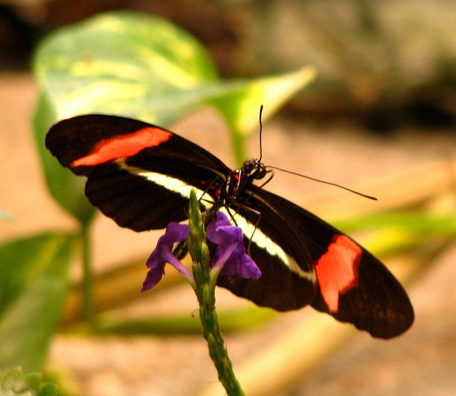 Butterfly Photograph - Crimson Patched Longwing 2 by J M Farris Photography