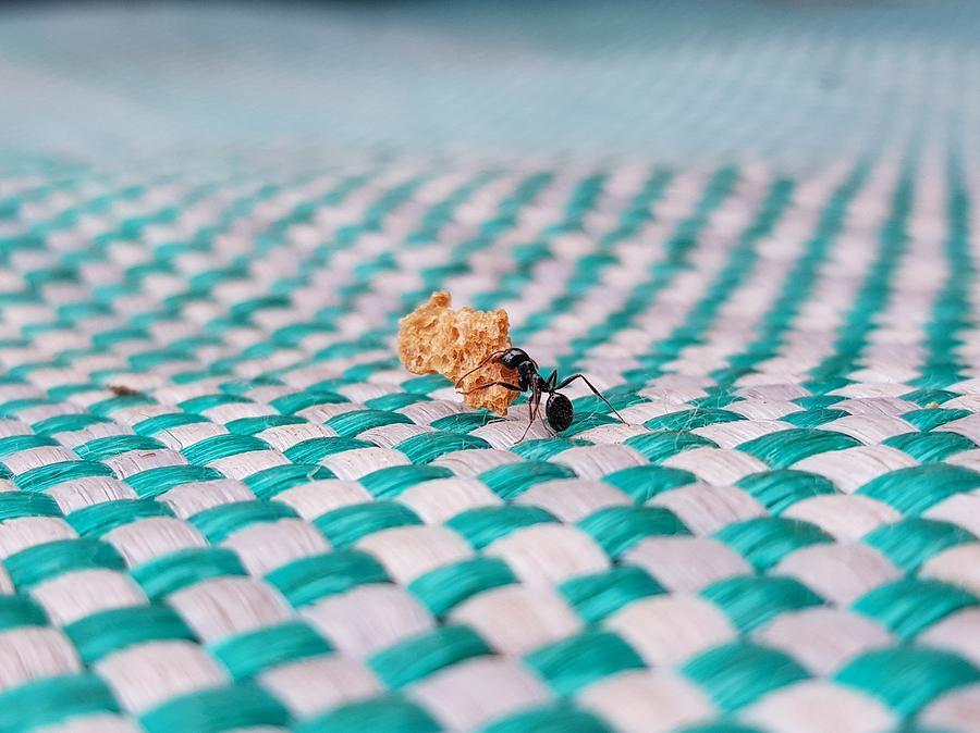 Croatian Ant Photograph