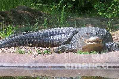 Crocodile At Nc Zoo Photograph by Robin Hester