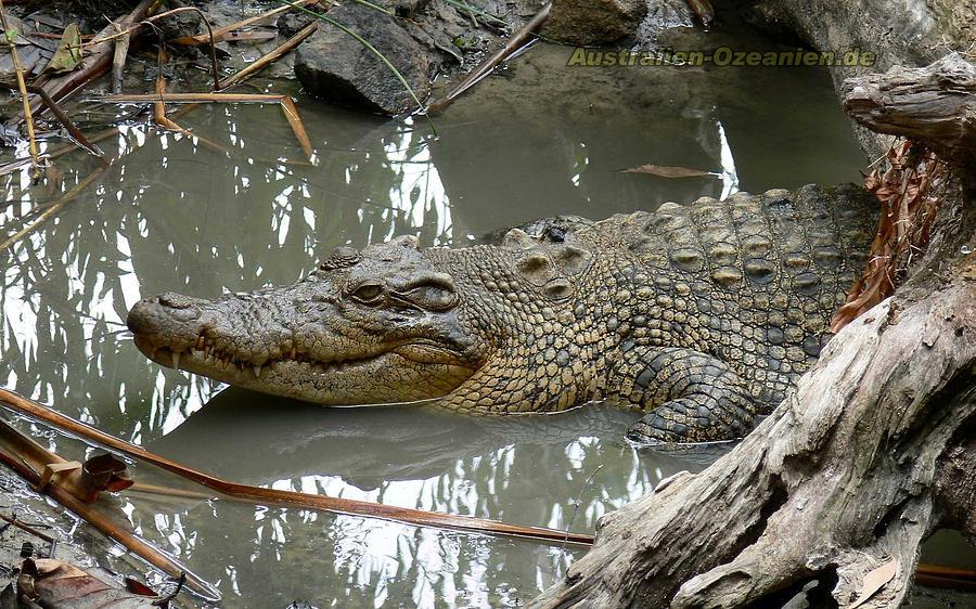 Crocodile Digital Art - Crocodile by Dorothy Binder