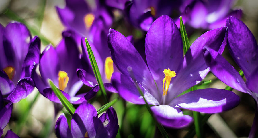 Crocus Amongst Us by Will Bailey