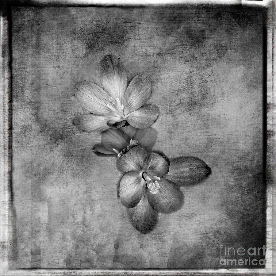 Crocus black and white artistic print