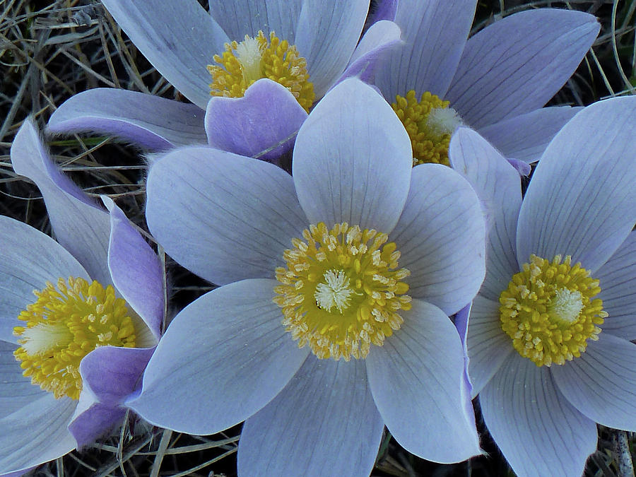 Pasque Flowers Photograph - Crocus Blossoms by Cris Fulton
