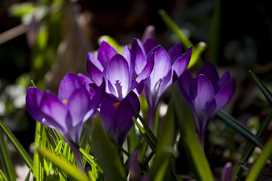 Crocus Photograph - Crocus Carnival by Shawn Young