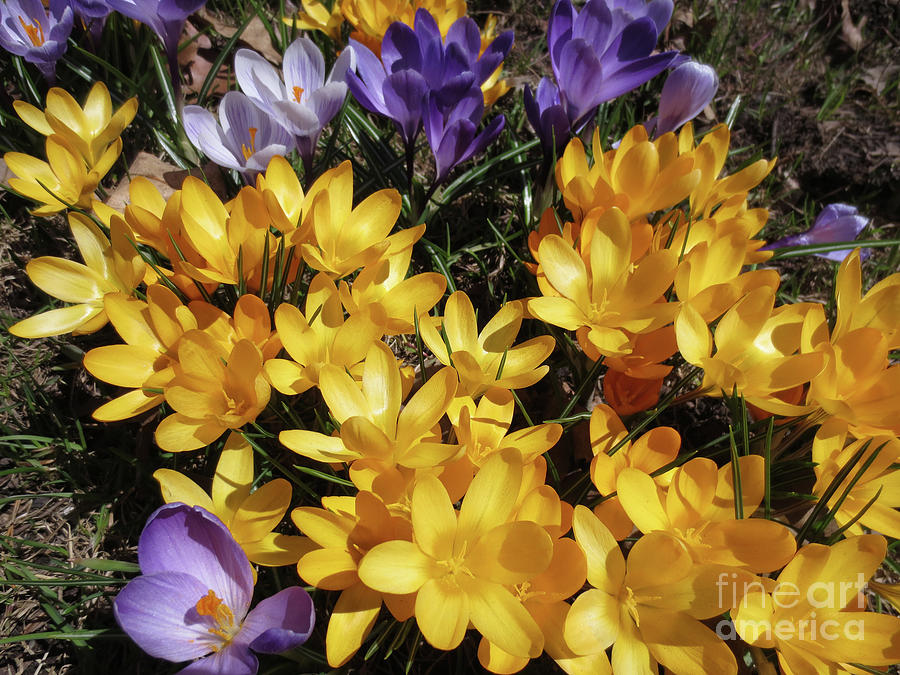 Spring Time Photograph - Crocus - Cest le printemps by Dominique Fortier