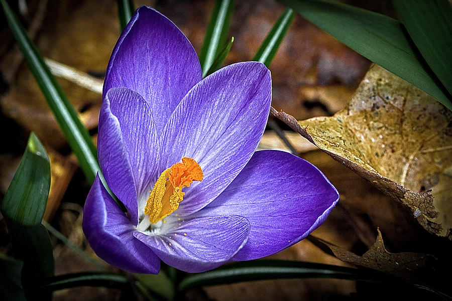 Flowers Photograph - Crocus Emerging by Gary Shepard