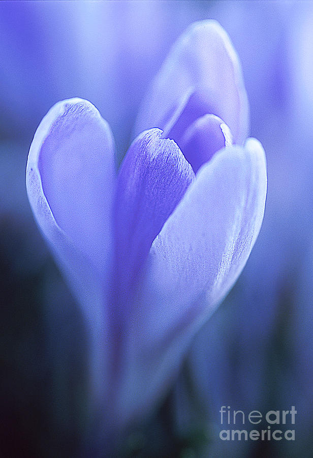 Spring Photograph - Crocus Love by Greg Summers