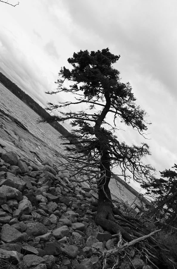 Tree Photograph - Crooked by Becca Brann