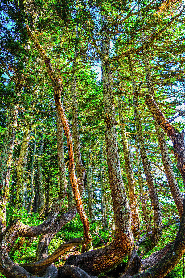 Nature Photograph - Crooked Trees of Mt Roberts by Jason Brooks