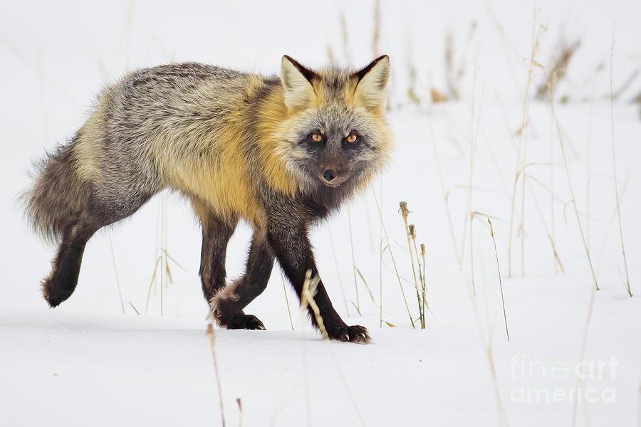 Cross Fox by Brad Schwarm
