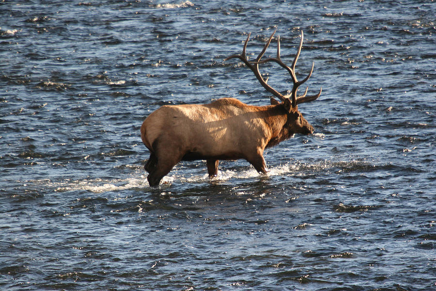 Elk Photograph - Crossing The Madison by Dave Clark