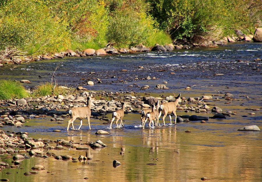 Deer Photograph - Crossing The River by Donna Kennedy
